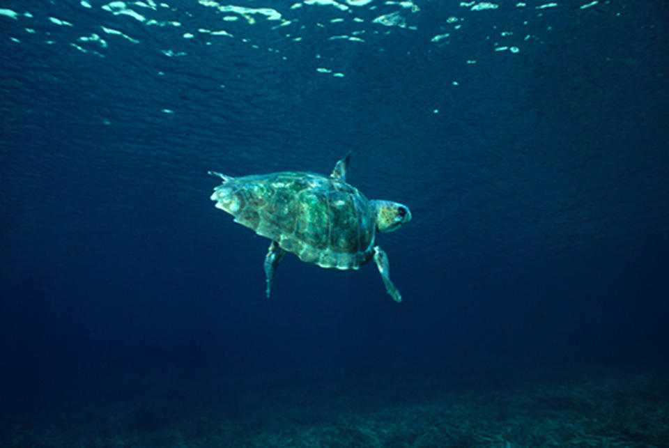 Pictured is a loggerhead turtle swimming in the ocean.