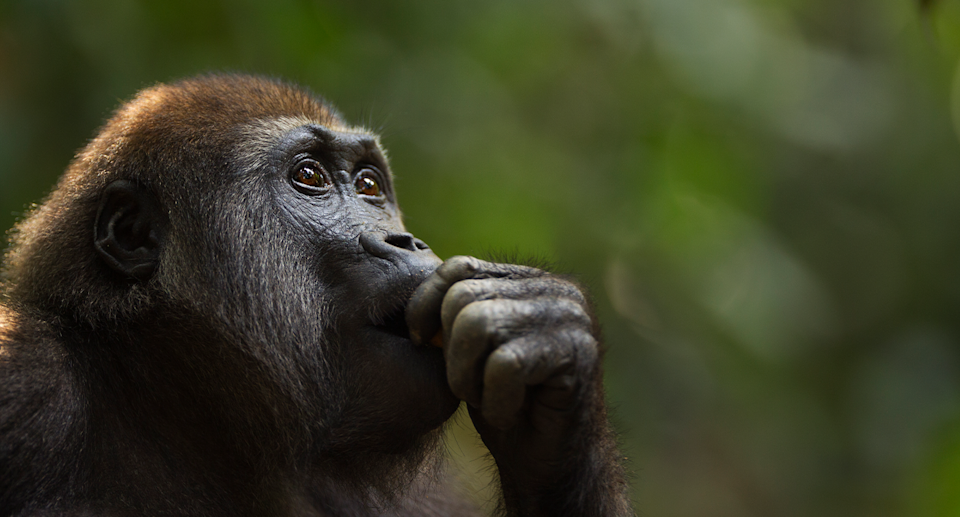Gorilla populations have plummeted since the 1990s. Source: Getty