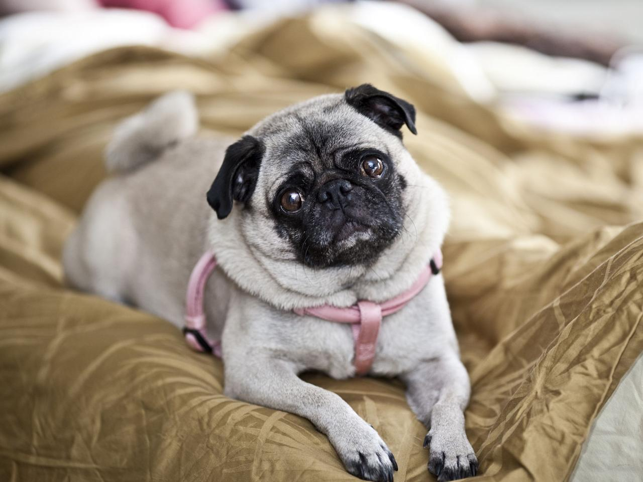 "<p>Keeping a dog in an apartment might seem like a bad idea at first, but there's a way to do it right. For starters, you'll want to look for a miniature dog breed that's suitable for apartments. But size isn't the only thing to consider: You'll also want to <a href=""https://www.thehonestkitchen.com/blog/tip-n-tricks-for-raising-a-dog-in-an-apartment/"" target=""_blank"">consider the dog's energy level</a>, according to The Honest Kitchen.</p><p>Apartment dwellers should look for <a href=""https://www.akc.org/dog-breeds/best-dogs-for-apartments-dwellers/"" target=""_blank"">breeds with moderate to lower</a> levels of energy, as they won't require a huge backyard to run around in, and could instead get plenty of exercise on short walks and while playing indoors. Dog owners with tiny apartments should also be prepared to invest time in training their dog so that it behaves appropriately in an apartment. Some small dog breeds, even if they're suitable for apartments in every other way, are very chatty and will need training to discourage barking and keep your neighbors happy. </p><p>Regardless of your dog's breed and training, no pup spend all day alone in the apartment. If you work away from home you should <a href=""https://www.apartmentguide.com/blog/happy-and-healthy-dog-small-apartment/"" target=""_blank"">hire a dog walker</a> or pet sitter to spend some time with your pup while you're away. </p><p>Now that you have most of the facts, here are some miniature dog breeds whose energy levels make them perfect for tiny living spaces. </p>"