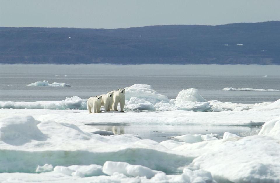 <p>Although polar bears are mostly solitary creatures—with the exception of breeding season and when a mother is raising her cubs—they sometimes do hangout in groups called sleuths. Polar bears also have an excellent memory and are able to remember other bears they've met even if they've gone several years without seeing one another.</p>