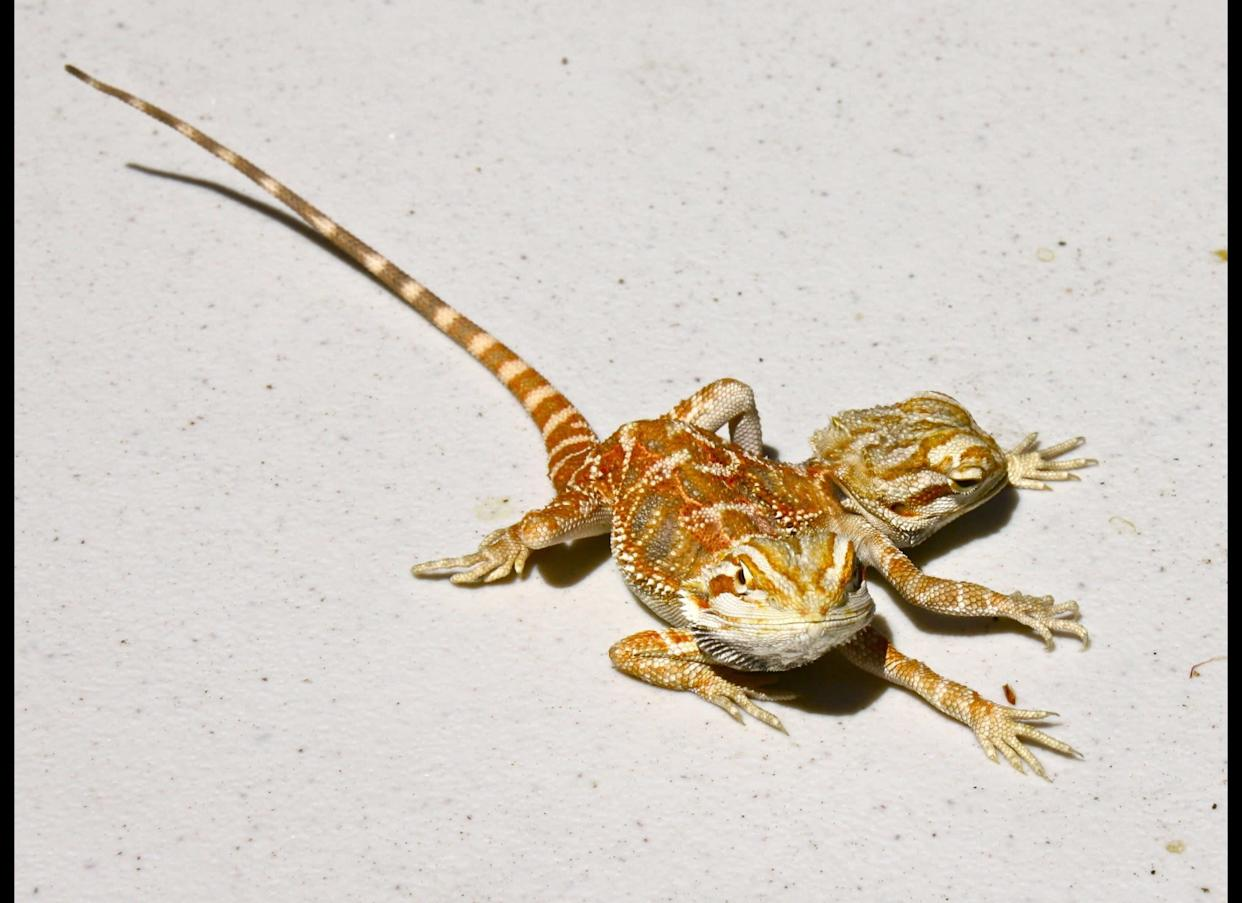 One two-headed, six-legged bearded dragon should be enough for anyone, but earlier this year, Ray became of the proud owner of Jeckyll and Hyde, who are younger and smaller.