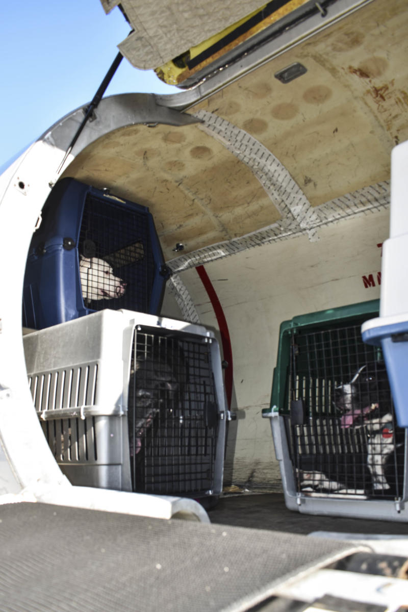 Dogs prepare to fly northeast after being evacuated out of South Florida shelters (HuffPost/Nina Golgowski)