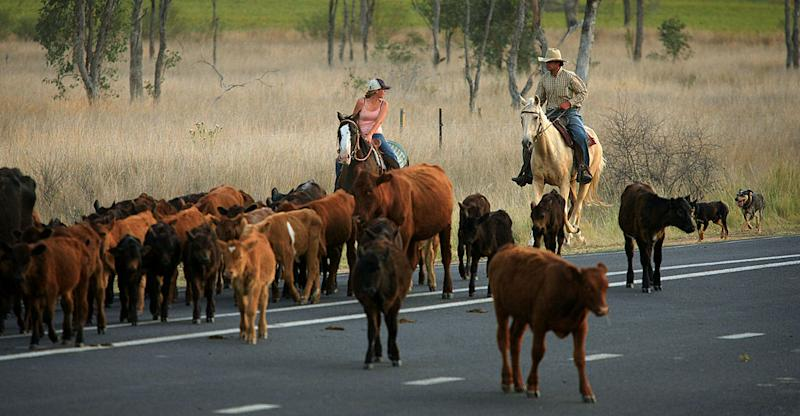 A pair of drovers with their mob of cattle can be seen on the side of the road.