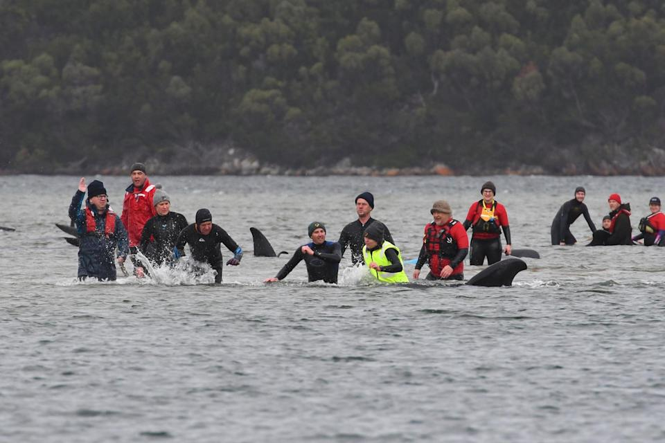 Rescuers work to save a pod of whales stranded on a sandbar in Macquarie Harbour (POOL/AFP via Getty Images)