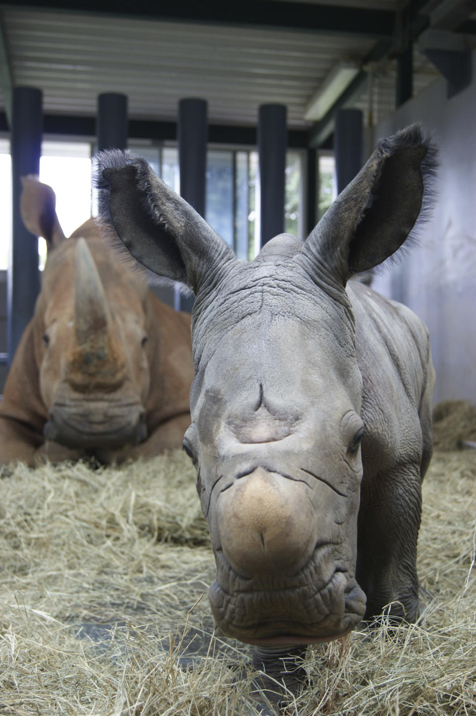 In this image provided by Walt Disney World, white rhinoceros Kendi, back left, shows off a baby male rhino she gave birth to Sunday, Oct. 25, 2020, at Disney's Animal Kingdom at Walt Disney World Resort in Lake Buena Vista, Fla. The baby rhino was the result of a Species Survival Plan overseen by the Association of Zoos and Aquariums to ensure the responsible breeding of endangered species. (Walt Disney World via AP)