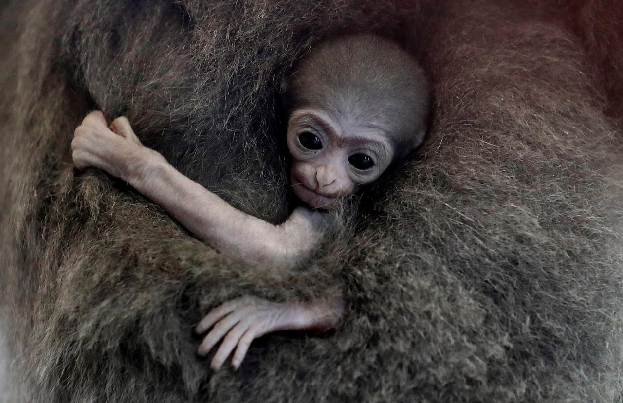 <p>A newly born endangered Silvery Gibbon baby is held by its mother Alangalang at Prague Zoo. (Reuters) </p>