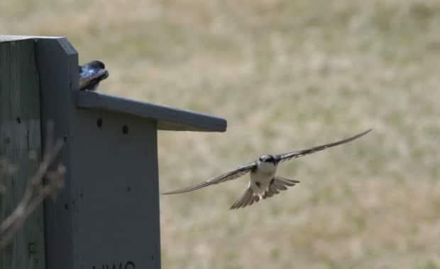 Late April is crucial for swallows in B.C.'s Shuswap region as they look for somewhere to nest and find a mate. (Submitted by Dianne Wittner - image credit)