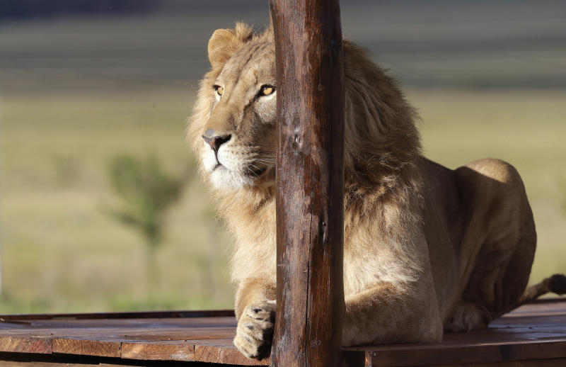 2 lions from Mideast war zones reach South African refuge