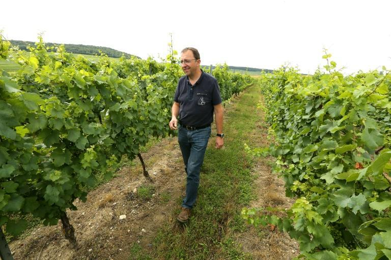 Champagne vines will have more space in future