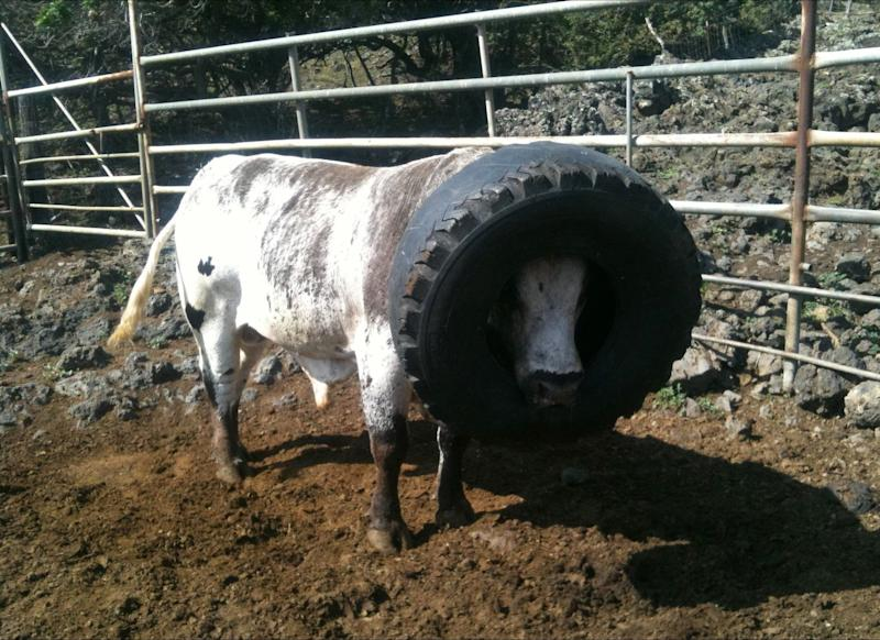 Skywalker, a rodeo bull in Hawaii, could not eat or drink while a 50-pound tire was stuck around his head. A ranch hand was able to pry it off after Skywalker exhausted himself, allowing the worker to get near the cranky animal.