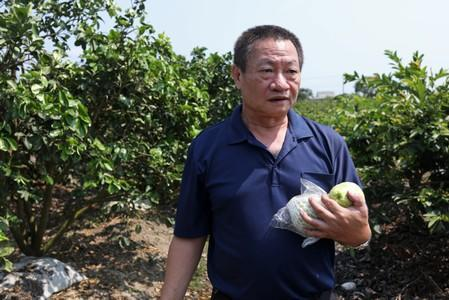 Lin Guo-cing, a senior official of the Chinese Unity Promotion Party, harvests guavas on his farm in Tainan