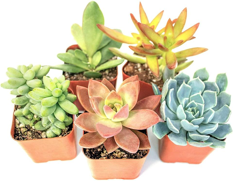 <p>You can never go wrong with these fully rooted <span>Succulent Plants (5 Pack)</span> ($16).</p>