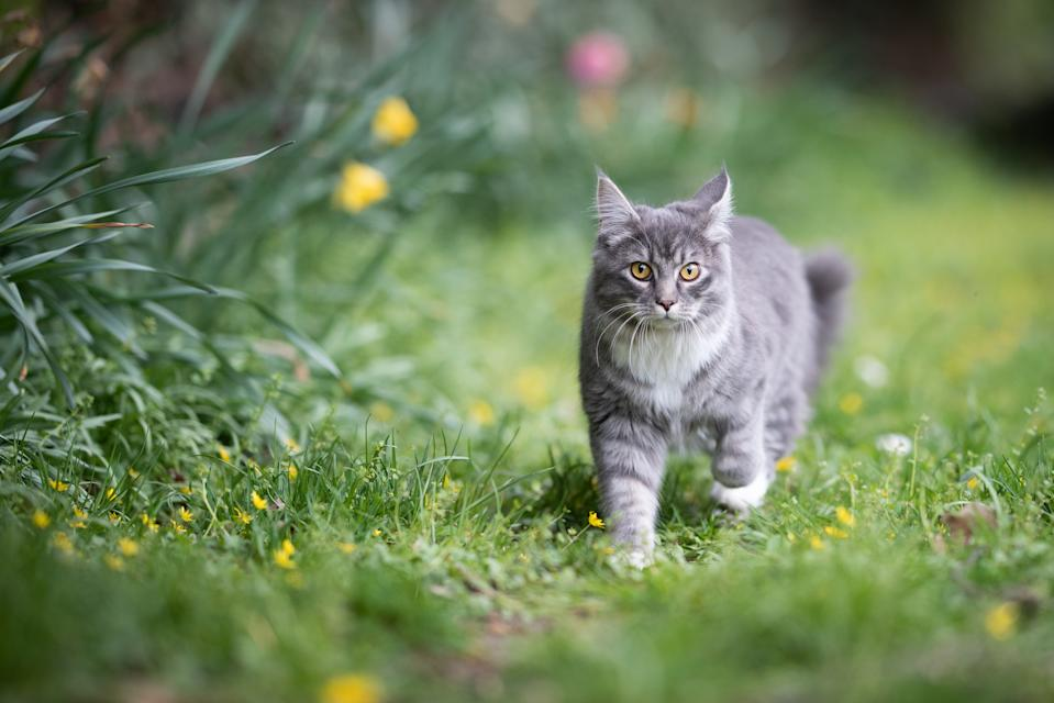 blue tabby maine coon cat on the move in the back yard looking at camera surrounded by yellow flowers on the lawn