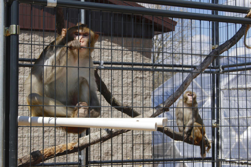 In this May 13, 2019, photo, River, left, and Timon, both rhesus macaques, sit in an outdoor enclosure at Primates Inc., in Westfield, Wis. It's a sanctuary that so far has five rhesus macaque monkeys that were previously used in medical research and one vervet monkey that used to be a pet. More research labs are retiring primates to sanctuaries like Primates Inc., a 17-acre rural compound in central Wisconsin, where they can live their remaining years when their studies are done, according to sanctuaries and researchers. (AP Photo/Carrie Antlfinger)
