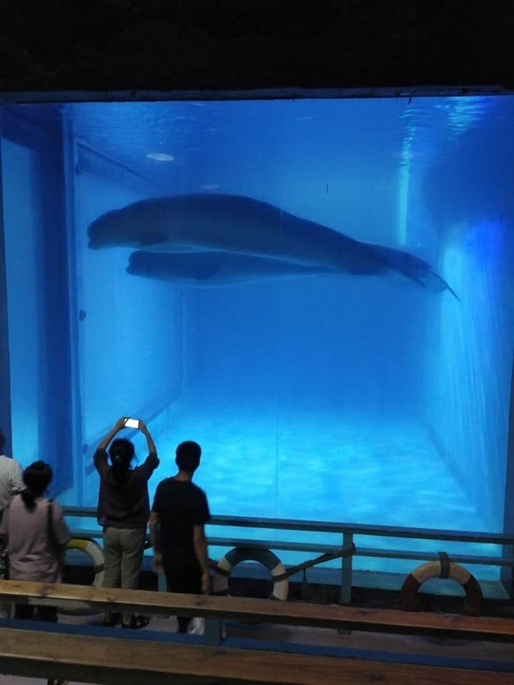 Two beluga whales float in a tank that is as wide as they are while tourists watch on. Source: Ningyo La Mar d'Aprop / Facebook