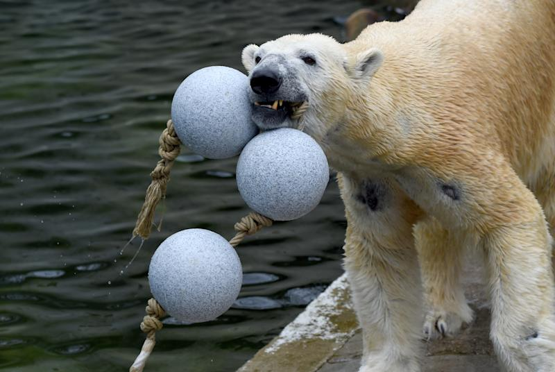 A polar bear at Neumuenster zoo chewing on a string of synthetic balls.
