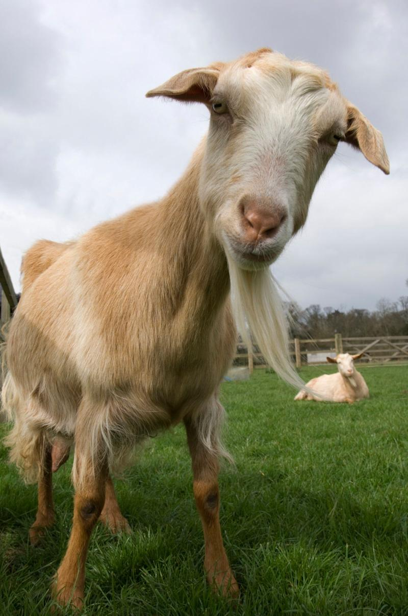 Channel Island goat (Capra aegagrus hircus) descended from WWII survivors, Church farm, Suffolk, UK