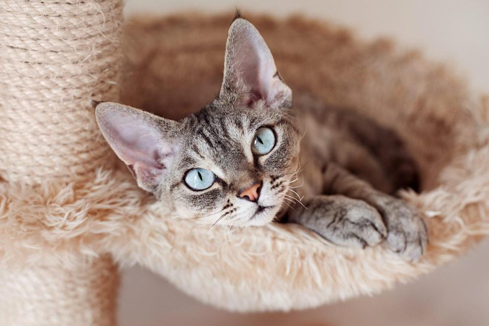 "<p>When you walk in the door, your <a href=""https://cfa.org/devon-rex/"" rel=""nofollow noopener"" target=""_blank"" data-ylk=""slk:Devon Rex"" class=""link rapid-noclick-resp"">Devon Rex</a> will be on you like glue. ""They would go to work with you if they could,"" says Keigel. With their pixie-like face and their curly coat, these cats will charm the pants off every single one of your guests. </p>"