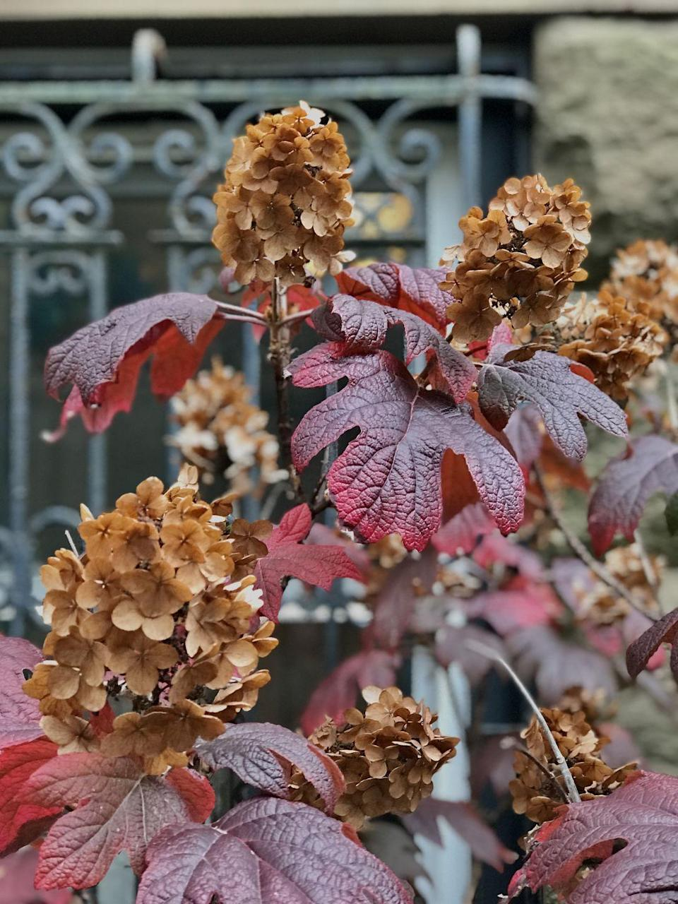 <p>Plant these in a sunny location with some afternoon shade to see the white leaves turn red, orange, yellow, or burgundy.<strong>Zones: 5-9</strong></p>