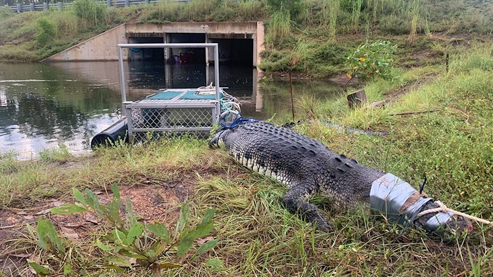 A 3.6 metre crocodile was found in a culvert in the Northern Territory, prompting a dire warning to the public. Source: Facebook/Northern Territory Parks and Wildlife