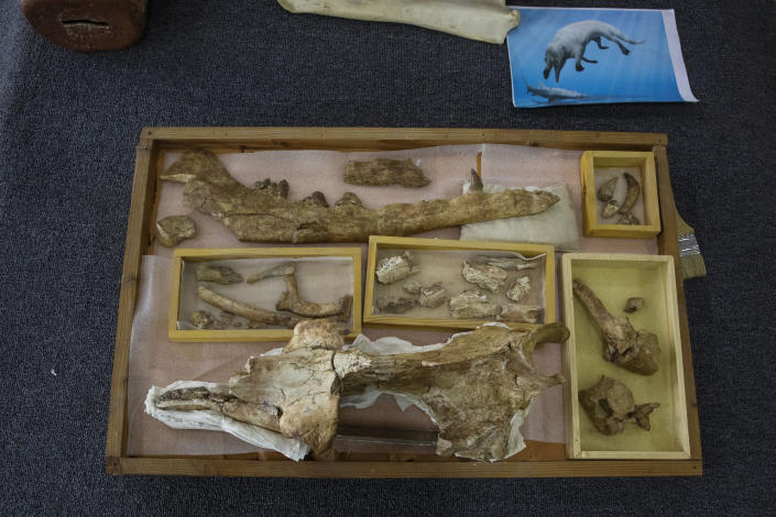 """The fossils of a 43 million-year-old four-legged prehistoric whale known as the """"Phiomicetus Anubis,"""" in an evolution of whales from land to sea, which was unearthed over a decade ago in Fayoum in the Western Desert of Egypt, at the university's paleontology department lab, in the Nile Delta city of Mansoura, 110 kilometers (70 miles) north of Cairo, Egypt, Sunday, Sept. 12, 2021. (AP Photo/Nariman El-Mofty)"""