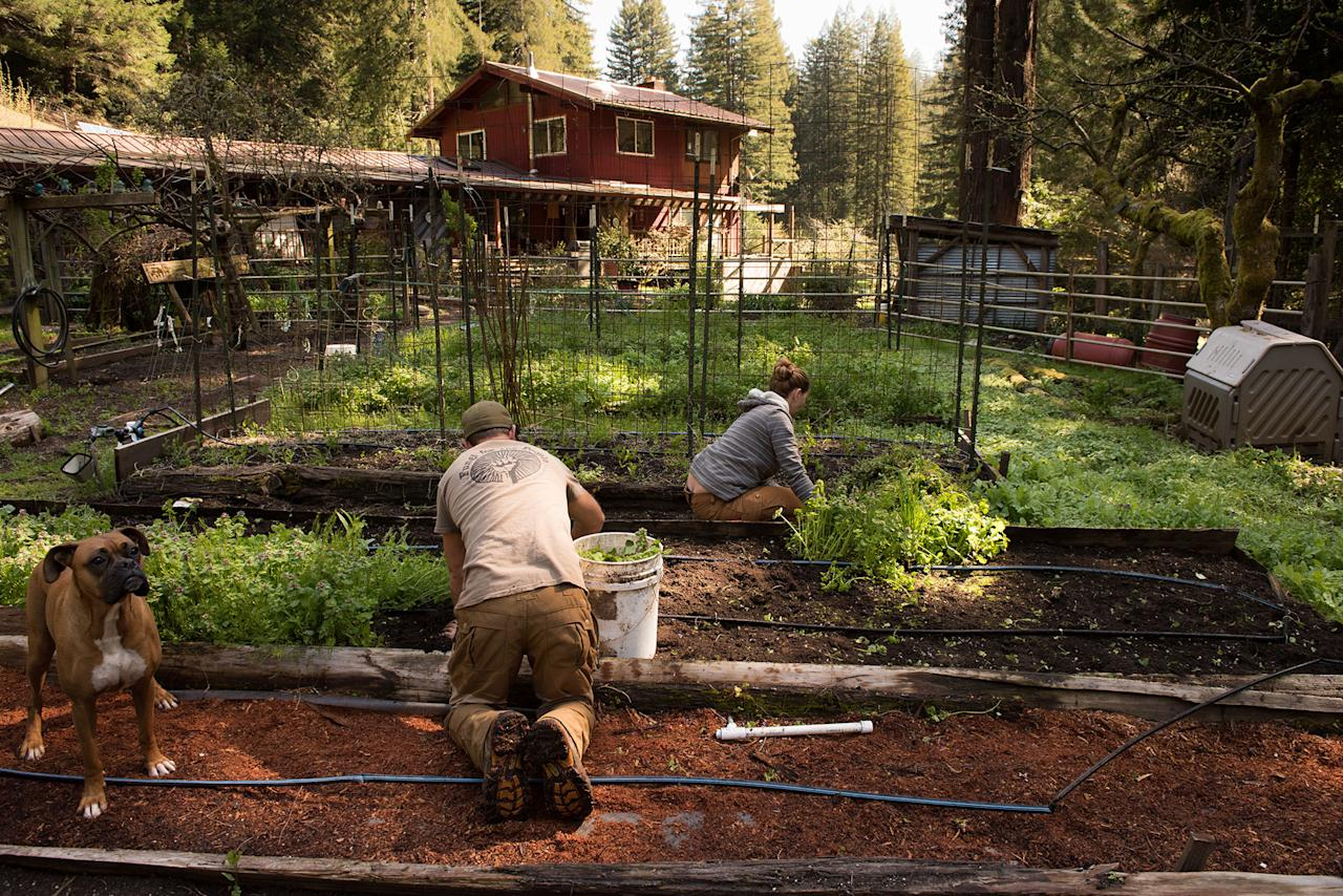 Small pot farms in Northern California thrive amid fears of Big Business