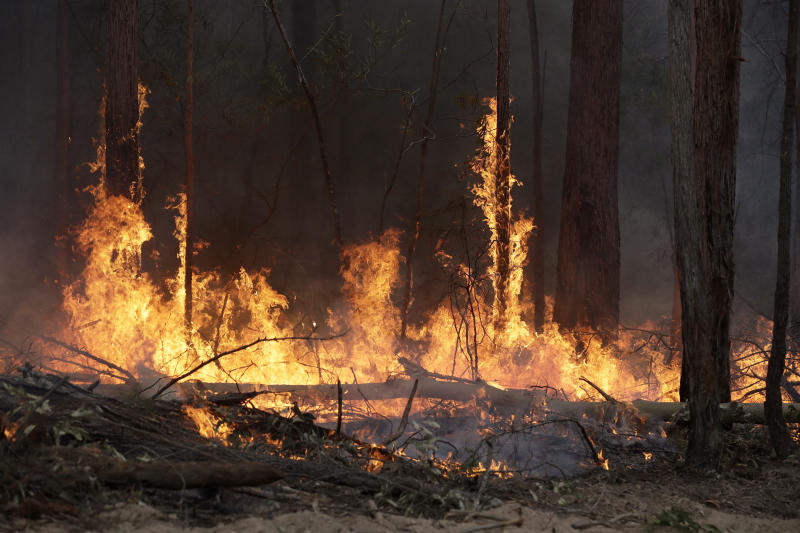 Flames from a controlled fire burn up tree trunks as firefighters work at building a containment line at a wildfire near Bodalla, Australia, Sunday, Jan. 12, 2020. Authorities are using relatively benign conditions forecast in southeast Australia for a week or more to consolidate containment lines around scores of fires that are likely to burn for weeks without heavy rainfall. (AP Photo/Rick Rycroft)