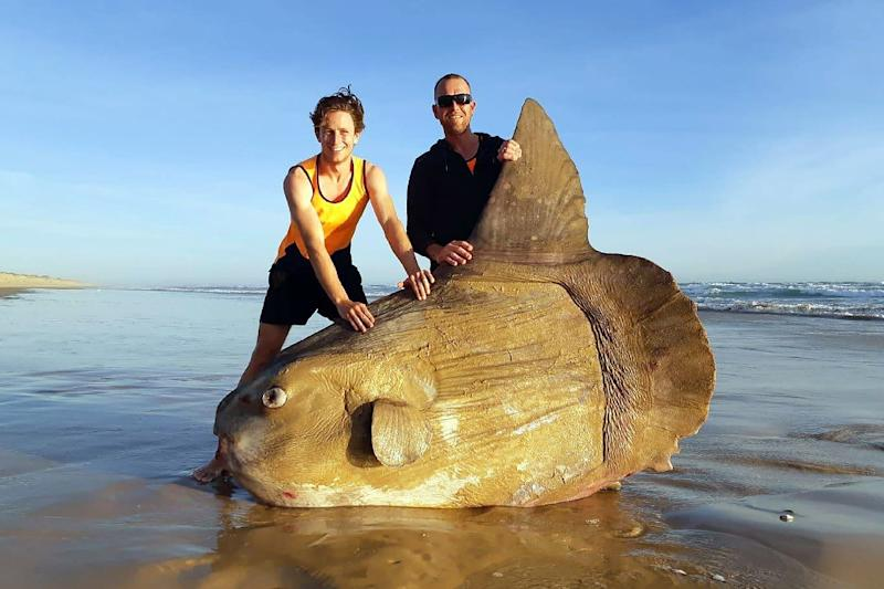 A mola mola -- or ocean sunfish -- washed up on an Australian beach (AFP Photo/Handout)