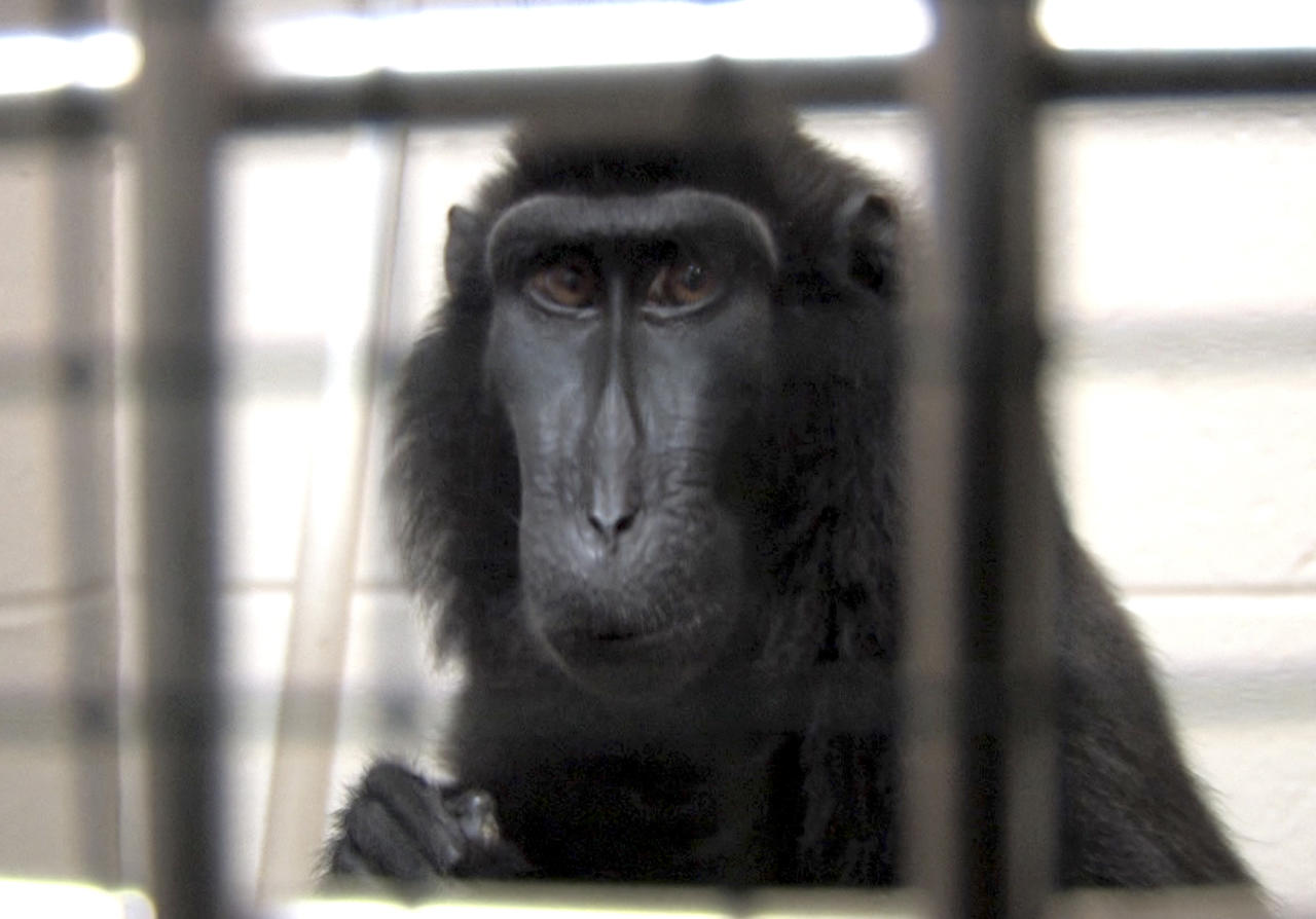 This is a handout photo from the Columbus Zoo and Aquarium of one of two macaques that were captured by authorities Wednesday, Oct. 19, 2011, a day after their owned released dozens of wild animals and then killed himself near Zanesville, Ohio. Sheriff's deputies shot and killed 48 of the animals, including 18 rare Bengal tigers, 17 lions, six black bears, two grizzly bears, a baboon, a wolf and three mountain lions. Six of the released animals - three leopards, a grizzly bear and two monkeys - were captured and taken to the Columbus Zoo. (AP Photo/Columbus Zoo and Aquarium, Grahm S. Jones)