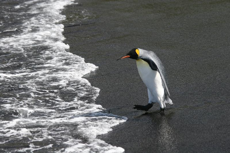 """At just under one metre (three feet) tall, King penguins -- whose black-and-white tuxedos are accessorised with orange bands around the neck -- are """"serially monogamous"""", meaning they stay faithful to one mate each year (AFP Photo/Celine Le Bohec)"""