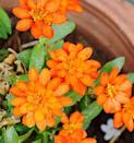 """<p>If you're looking for annuals that thrive on neglect, choose marigolds! They don't mind heat or drought and will last until the first hard freeze. Their bright colors really pop in planters! Pinch off the spent flowers to keep them blooming.</p><p><a class=""""link rapid-noclick-resp"""" href=""""https://www.amazon.com/Sow-Right-Seeds-Collection-Crackerjack/dp/B083DJ3DFD/ref=sr_1_1?crid=3LL1GOVWHGP1N&dchild=1&keywords=marigolds+live+plants&qid=1611351780&sprefix=marigolds%2Caps%2C173&sr=8-1&tag=syn-yahoo-20&ascsubtag=%5Bartid%7C10050.g.30420939%5Bsrc%7Cyahoo-us"""" rel=""""nofollow noopener"""" target=""""_blank"""" data-ylk=""""slk:SHOP MARIGOLDS"""">SHOP MARIGOLDS</a></p>"""
