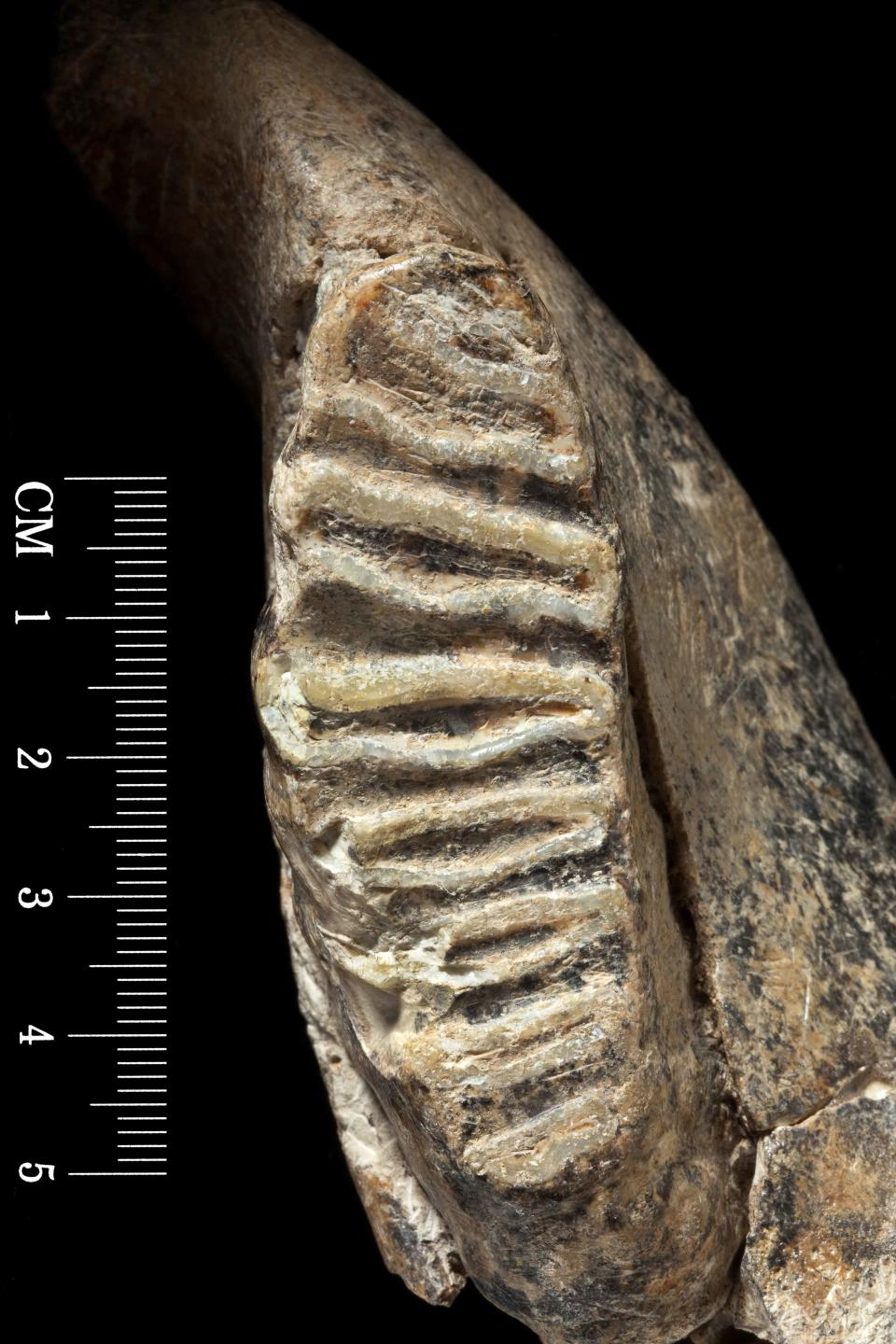 Dwarf elephant tooth – this fossil tooth and jaw bone were discovered in Cyprus by palaeontologist Dorothea Bate. Between 10,000 and 800,000 years old, they were one of the first pieces of evidence to suggest that miniature elephants once lived in the island. (Natural History Museum)