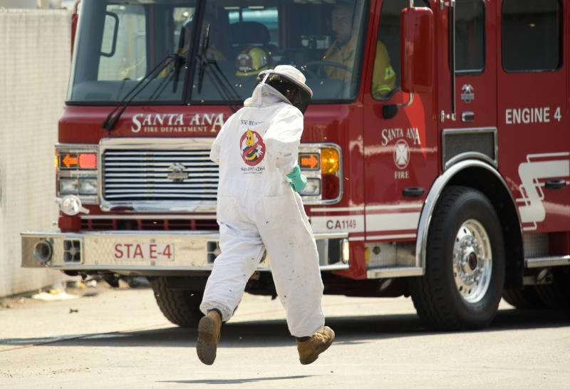 With bees swarming,  Bee Keeper Technician Kris Fricke runs back to his truck for  equipment to remove a swarm of aggressive honey bees  in Santa Ana, Calif. on  Thursday, Sept. 15, 2011.  (AP Photo/Orange County Register, Ken Steinhardt)