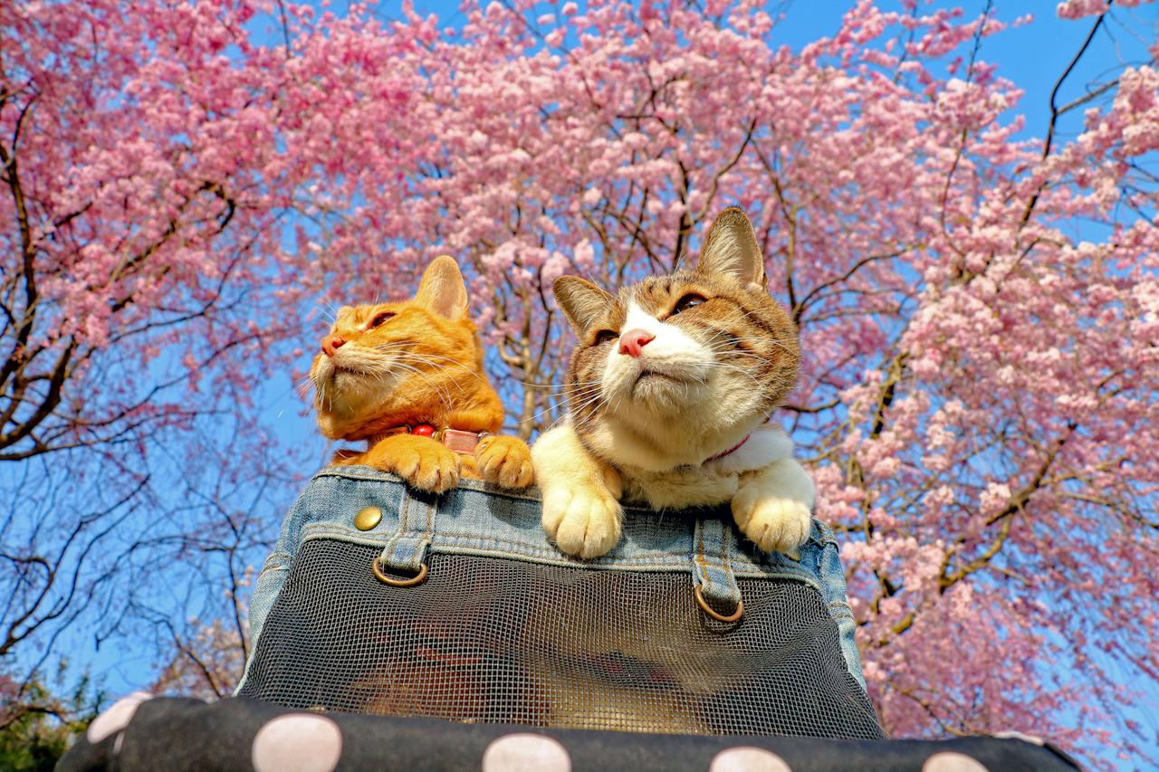 <p>Daisuke Nagasawa travels nationally and internationally with his cats, Fuku-Chan and Daikichi. Here, the two pose under the iconic Japanese cherry blossoms. (Photo: Daisuke Nagasawa/Caters News) </p>