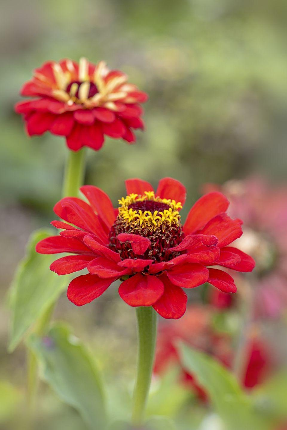 """<p>Heavy bloomers, zinnias are easy to start from seed after the last frost. While these full-sun lovers are annuals, they effortlessly reseed from year to year.<br><br> <a class=""""link rapid-noclick-resp"""" href=""""https://www.amazon.com/Zinnia-California-Giant-Flower-Seeds2Go/dp/B07KL175QJ/ref=sr_1_2?tag=syn-yahoo-20&ascsubtag=%5Bartid%7C10050.g.32157369%5Bsrc%7Cyahoo-us"""" rel=""""nofollow noopener"""" target=""""_blank"""" data-ylk=""""slk:SHOP NOW"""">SHOP NOW<br></a></p>"""