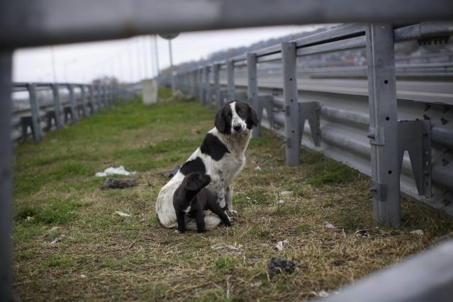 In this photo taken on Thursday, Nov. 28, 2013, a stray dog and its puppy sit behind the railings in the middle of a highway outside Sochi, Russia. As the Winter Games are getting closer, many Sochi residents are complaining that their living conditions only got worse and that authorities are deaf to their grievances. (AP Photo/Alexander Zemlianichenko)