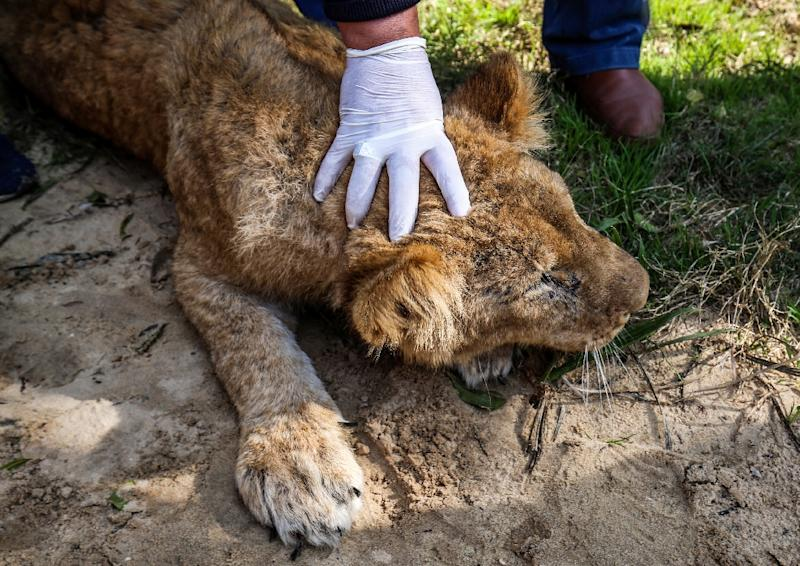 """Lionness """"Falestine"""" about to be declawed at Rafah zoo in southern Gaza (AFP Photo/SAID KHATIB)"""