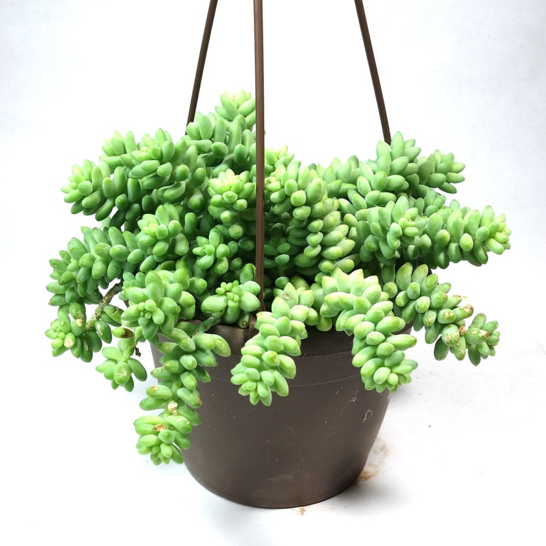 """<h3><h2>Donkey Tail Hanging Succulent</h2></h3><br><strong>Why She'll Love It</strong><br>This bestseller is one of the more unique looking succulents we've come across — similar to the beloved <a href=""""https://www.etsy.com/listing/691809422/senecio-string-of-pearls-6"""" rel=""""nofollow noopener"""" target=""""_blank"""" data-ylk=""""slk:String of Pearls"""" class=""""link rapid-noclick-resp"""">String of Pearls</a>, but just a bit zanier. <br><br><strong>Care</strong><br>Described as easy to grow and maintain — requiring only filtered to bright light along with well-drained soil. <br><br><em>Shop <strong><a href=""""https://www.etsy.com/shop/lazygardens"""" rel=""""nofollow noopener"""" target=""""_blank"""" data-ylk=""""slk:Lazy Gardens"""" class=""""link rapid-noclick-resp"""">Lazy Gardens</a></strong></em><br><br><strong>lazygardens</strong> Donkey Tails, 6 inch, $, available at <a href=""""https://go.skimresources.com/?id=30283X879131&url=https%3A%2F%2Fwww.etsy.com%2Flisting%2F803507773%2Fdonkey-tails-6-inch-burros-tail-sedum"""" rel=""""nofollow noopener"""" target=""""_blank"""" data-ylk=""""slk:Etsy"""" class=""""link rapid-noclick-resp"""">Etsy</a>"""