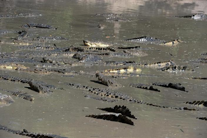 Hungry crocodiles in the pool of a private farm in the San Manuel municipality, Cortes department, north of Tegucigalpa on November 1, 2015 (AFP Photo/Orlando Sierra)
