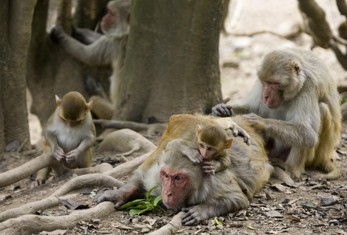 In this July 29, 2008 file photo, rhesus macaque monkeys groom one another on Cayo Santiago, known as Monkey Island, off the eastern coast of Puerto Rico. (Photo: Brennan Linsley/AP)