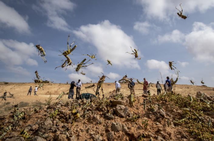 In this photo taken Wednesday, Feb. 5, 2020, young desert locusts that have not yet grown wings jump in the air as they are approached, as a visiting delegation from the Food and Agriculture Organization (FAO) observes them, in the desert near Garowe, in the semi-autonomous Puntland region of Somalia. The desert locusts in this arid patch of northern Somalia look less ominous than the billion-member swarms infesting East Africa, but the hopping young locusts are the next wave in the outbreak that threatens more than 10 million people across the region with a severe hunger crisis. (AP Photo/Ben Curtis)