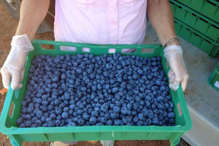 tray of blueberries