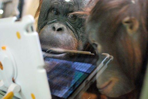 Orangutans watch a video on an iPad held up to the glass of their enclosure at Milwaukee County Zoo