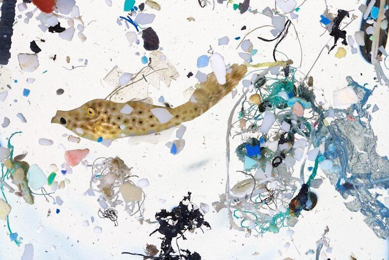 A scribbled filefish, about 50 days old and 2 inches long, surrounded by plastics in a sample taken in a surface slick in the coastal waters of Hawaii Island. (Photo: David Liittschwager)