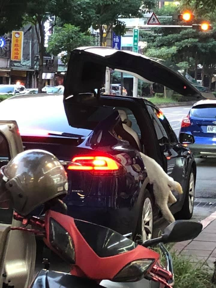 The Alpaca swiftly jumped on board the luxury car thanks to Tesla's automatic doors. (爆料公社 臉書/NOWnews/The China Post)
