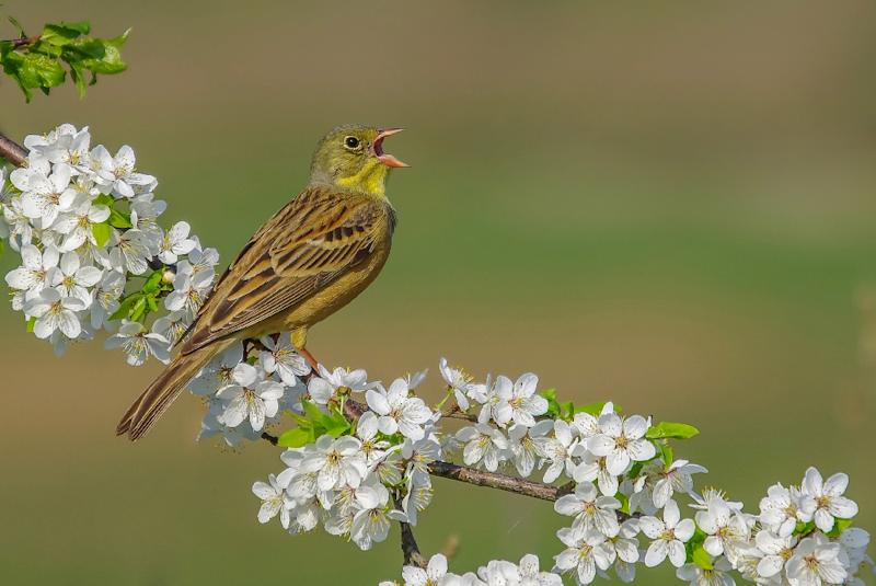 The ortolan bunting, like one seen here in Lithuania, is a prized delicacy in France (AFP Photo/Simonas Minkevicius)