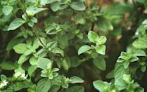<p>Boost your kitchen garden and attract pollinators with this perennial herb. Depending on the variety, oregano fares best in USDA Hardiness Zones 4-10 and blooms in the summer.</p>