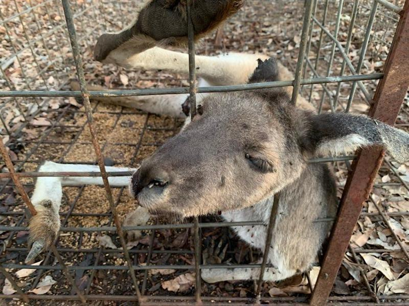 Close up of the dead kangaroo looking out of the cage. Source: Supplied