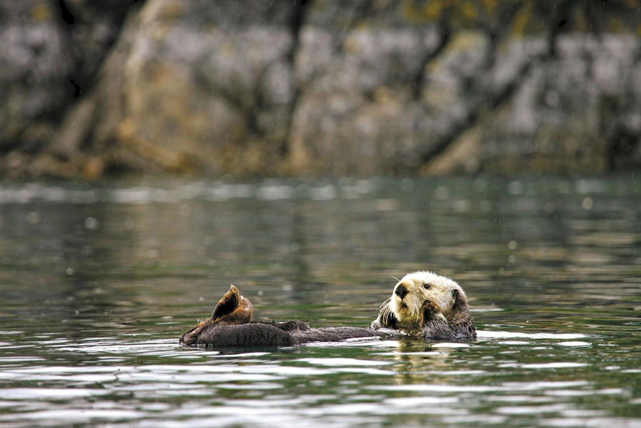 <p>Sitka, Alaska   - Set sail in search of whales, rafts of otters and harbor seals as you   cruise to Fin Island Lodge for an Alaskan feast of local fare. Afterward,   explore the grounds of this gorgeous locale or relax and roast smores at a   beachside fire.</p>