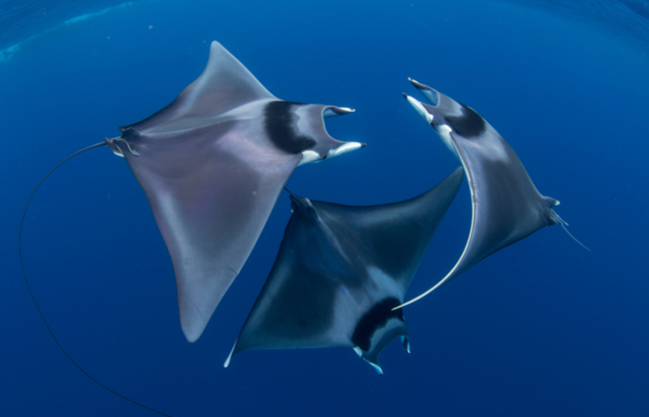<p>This stunning shot shows Ray's in Honda Bay, Palawan, Philippines (Duncan Murrell/Ocean Art photography contest) </p>